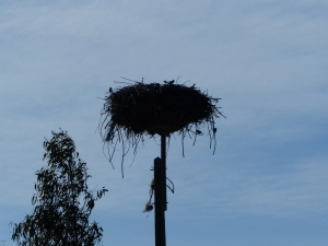 A stork's nest on a light pole