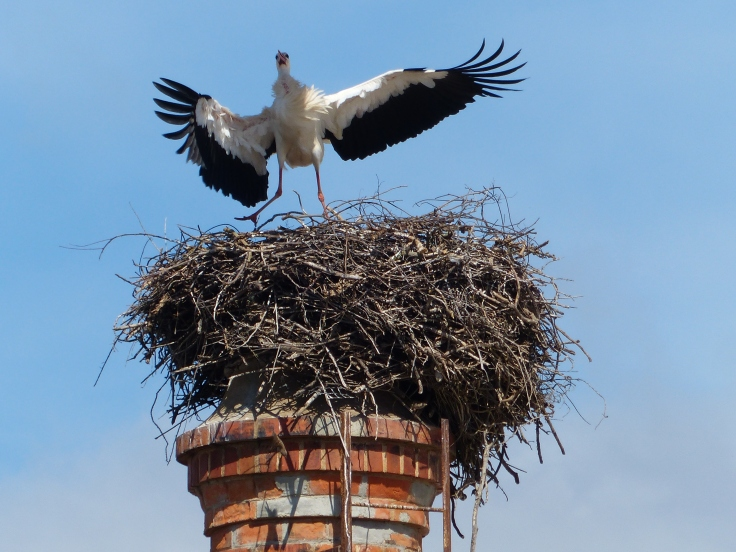 A stork in its penthouse nest in the city being  a tad unneighbourly to another visiting stork.