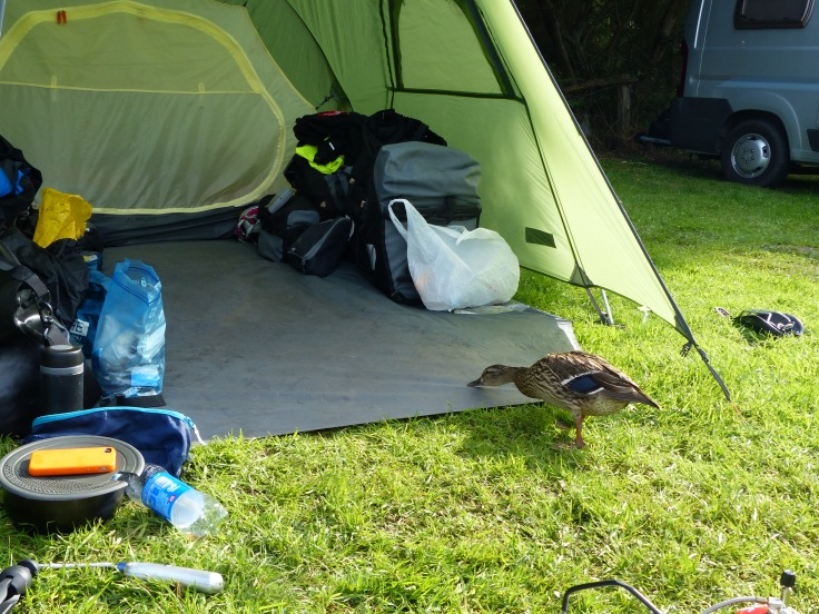 We had some extra visitors at our campsite! A couple of ducks kept popping in to say hello and hope for some treats. We've had horses in our tent, so a couple of ducks were no problem!