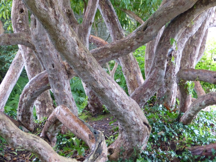 I loved this tree in the garden, with its intriguing intertwined trunks
